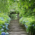 2016年あじさい寺の見頃はいつ?鎌倉・京都・箱根の紫陽花