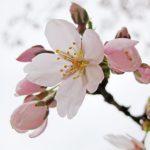 桜の開花予想日どうやって決める?600度の法則って何?