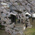 今年もあるの?皇居乾通り桜の通り抜け一般公開はいつ?
